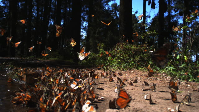 slomo track behind group of monarch butterflies taking off from pool on forest floor - farfalla monarca video stock e b–roll