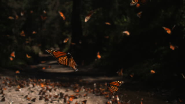 slomo track behind group of monarch butterflies taking off from pool on forest floor - michoacán video stock e b–roll