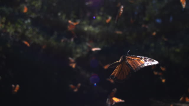 slomo track behind group of monarch butterflies taking off from pool on forest floor - migrazione animale video stock e b–roll