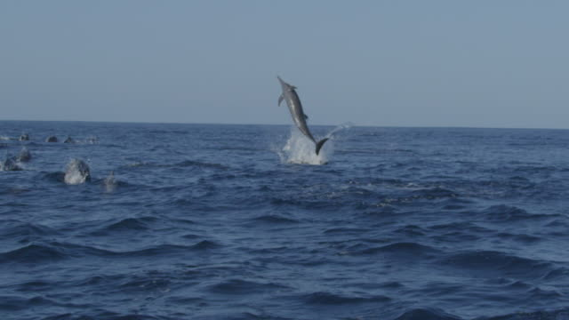 slomo track behind group of spinner dolphins swimming  and 2 leaping and spinning enrgetically - provinz puntarenas stock-videos und b-roll-filmmaterial