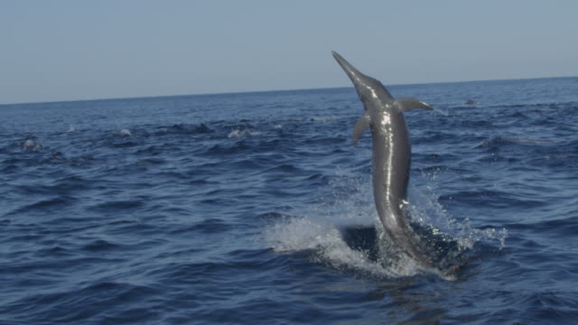 slomo track behind group of spinner dolphins swimming as 1 leaps and spins   - provinz puntarenas stock-videos und b-roll-filmmaterial