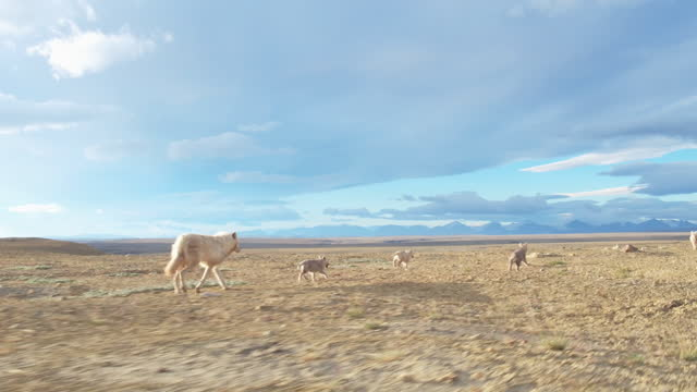 vídeos y material grabado en eventos de stock de track behind hunting arctic wolf pack and cubs walking then trotting across tundra - small group of animals