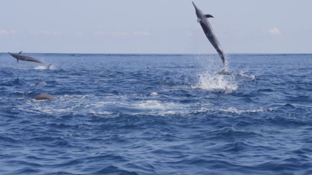 track behind spinner dolphin leaping and spinnng 4 times - spinner dolphin stock videos & royalty-free footage