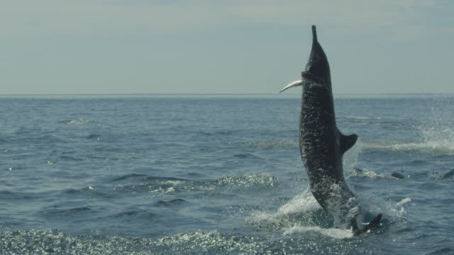 slomo track behind spinner dolphins leaping and spinning close to camera - spinner dolphin stock videos & royalty-free footage