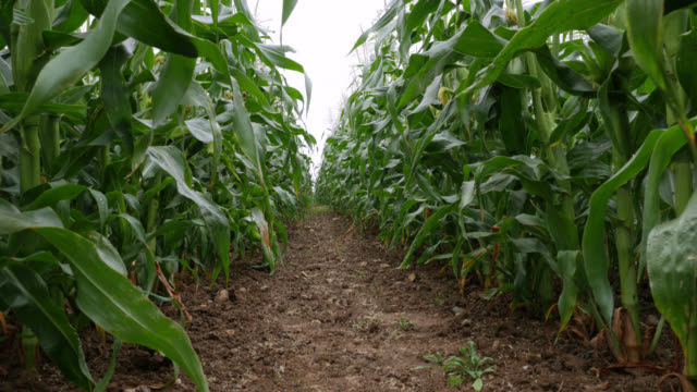 track between rows of sweetcorn in field, uk - corn cob stock videos & royalty-free footage