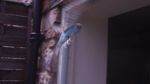 vídeos de stock, filmes e b-roll de slomo ms track blue budgerigar flies through open kitchen door very close to camera - periquito comum