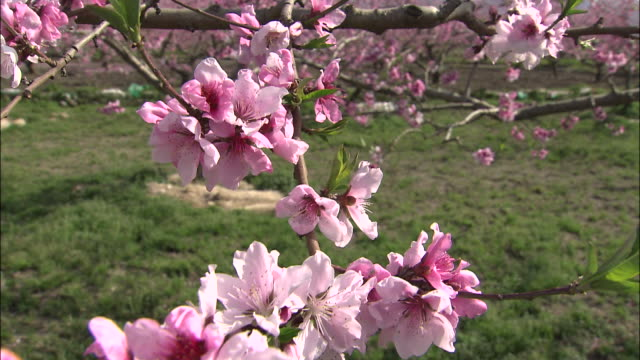 Track down and left over peach blossom on twig