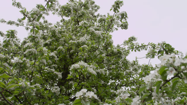 track down over orchard trees in blossom, herefordshire, england - apple tree stock videos & royalty-free footage