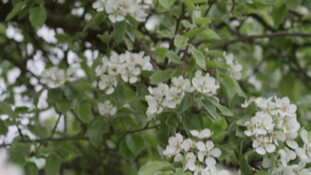 track down over orchard trees in blossom, herefordshire, england - herefordshire stock videos & royalty-free footage