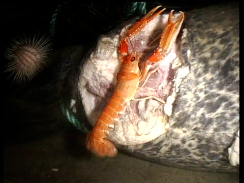 Track forward as Norway lobster crawls over seal carcass tangled in rope on bottom of fjord, Norway
