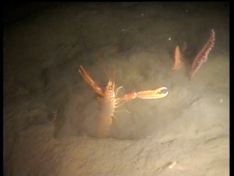 stockvideo's en b-roll-footage met track forward as norway lobster spins round with outspread claws in front of burrow, norway - steurgarnaal
