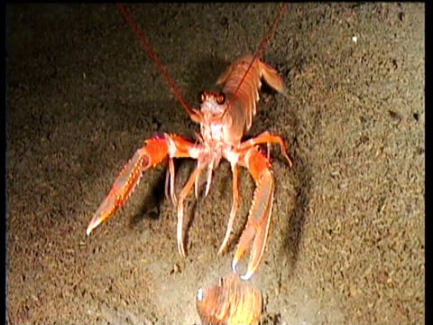 Track forward as Norway lobster walks over bed of fjord towards urchin, Norway