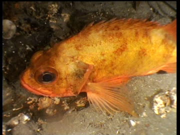 track forward as rockfish turns around, norway - drachenkopf stock-videos und b-roll-filmmaterial