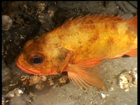 Track forward as rockfish turns around, Norway
