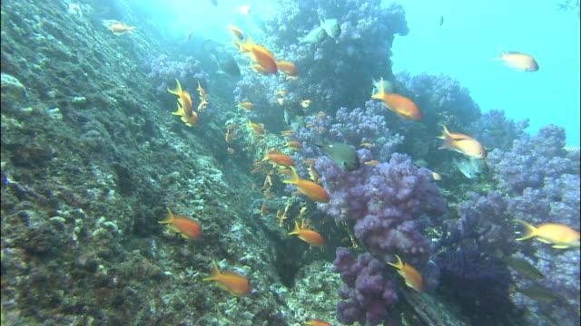 Track forward as shoal of fish swim above coral reef, Kerama Islands, Okinawa, Japan, Diving Shot