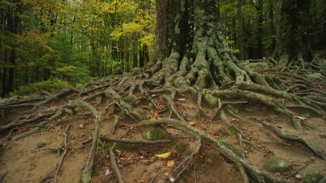 w/s track forward big roots old beech tree, autumn - root stock videos & royalty-free footage