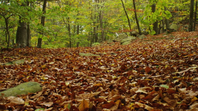 w/s track forward forest in autumn, ground covered with leaves - beech tree stock videos and b-roll footage