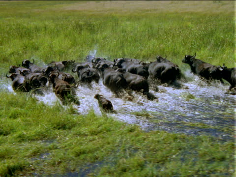 track forward over herd of buffalo wading through flooded grassy plain. - camminare nell'acqua video stock e b–roll