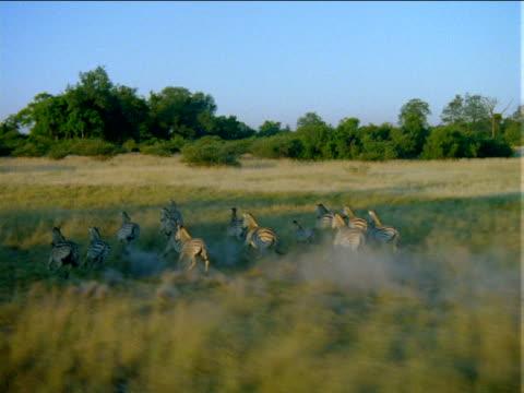 track forward over herd of zebras racing across grassy plain. - pferdeartige stock-videos und b-roll-filmmaterial