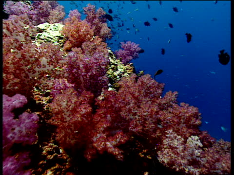 Track forward over orange and red corals to shoals of fish in dark blue Andaman Sea