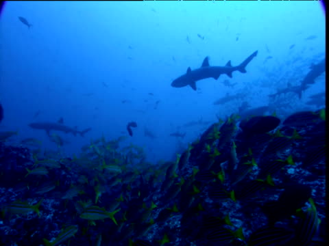 track forward over reef past shoal of blue striped snappers and whitetip reef sharks, cocos island, costa rica - whitetip reef shark stock videos & royalty-free footage