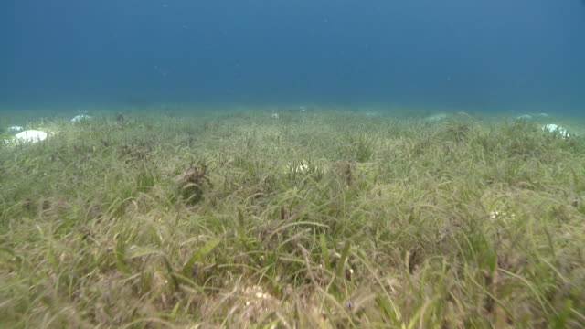 track forward over sea grass to small fish shoal, southern visayas, philippines - sea grass plant点の映像素材/bロール