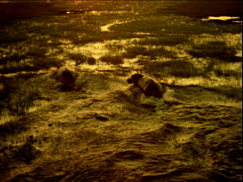 Track forward over two hippopotamus running out of water towards flooded plain at sunset
