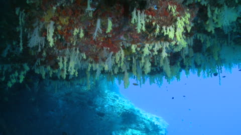 vídeos de stock e filmes b-roll de track forward over yellow soft corals (dendronephthya sp.) on ceiling of cavern, vaavu atoll, the maldives - coral macio