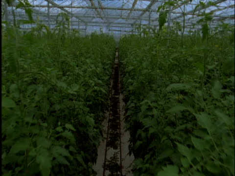 Track forward through huge tomato greenhouse