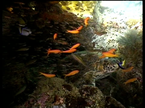 vídeos de stock, filmes e b-roll de ms track forward through shoals of glass fish and anthias, over reef  to green turtle resting in cave, sipadan, borneo, malaysia - organismo aquático