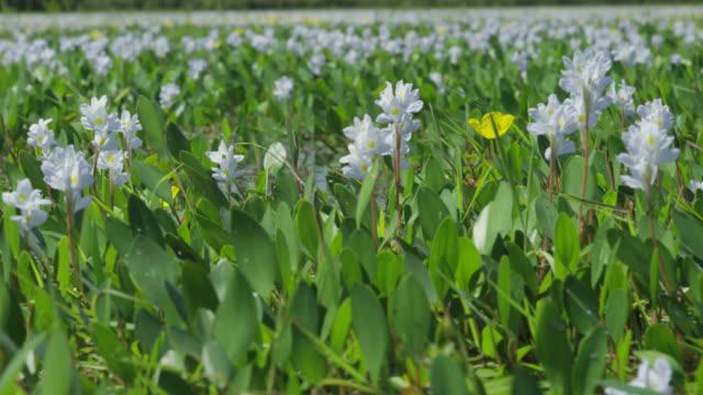 Track forward through water hyacinths (Eichhornia crassipes) in lake.