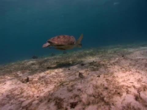 track forward to green turtle (chelonia mydas) descending to feed on sea grass, remora fish on underside, house reef, dimakya island, coron, the philippines - sugfisk bildbanksvideor och videomaterial från bakom kulisserna