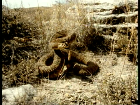MS track forward to Rattlesnake, coiled up position, strikes to camera, USA