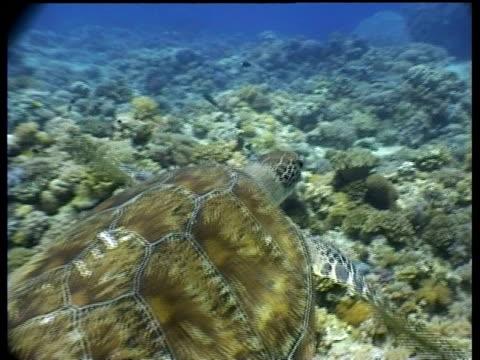 vídeos y material grabado en eventos de stock de ms track forward toward green turtle swimming over reef, side view, turtle swims past camera, divers in background, layang layang, malaysia - patrones de colores