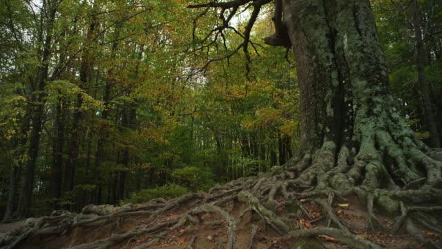 vídeos y material grabado en eventos de stock de w/s track forward trunk and roots old beech tree, autumn - raíz