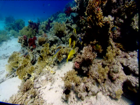 track forward with yellow saddle goatfish as they swim round coral outcrop, red sea - red sea stock videos & royalty-free footage