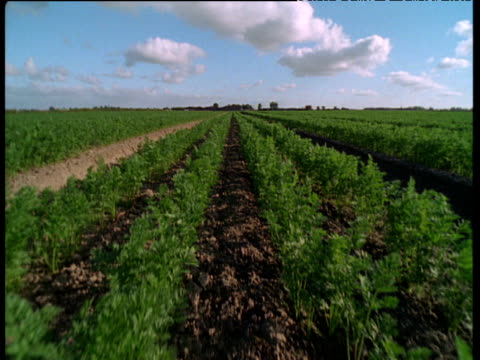 track forwards and crane up to reveal long rows of carrots growing in field, uk - carrot stock videos and b-roll footage