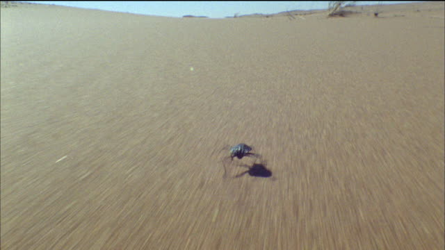 Track forwards behind Narra beetle running over sand Available in HD.