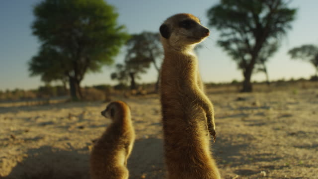 stockvideo's en b-roll-footage met track from meerkats at burrow to cu adult in foreground - drie dieren