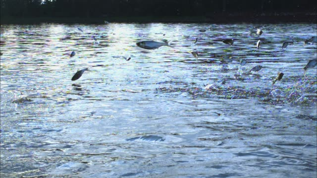 slomo track group of asian silver carp jumping out of river - fish stock videos & royalty-free footage