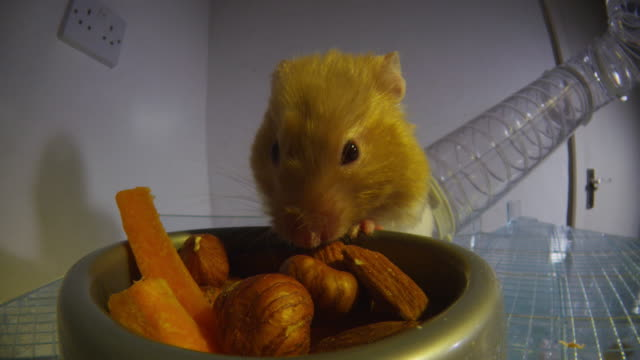 cu track in as pet syrian hamster loads pouches with hazelnuts from food bowl - pets stock videos & royalty-free footage