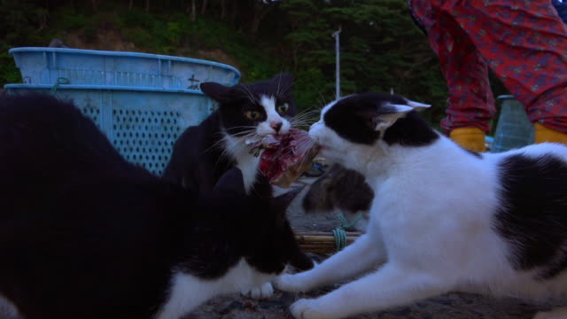 ms track in to cu 2 feral domestic cats pulling at fish until one wins - stray animal stock videos & royalty-free footage