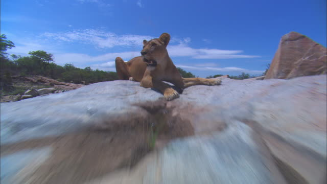 vidéos et rushes de track in to ecu african lioness lying on rocky outcrop - outcrop