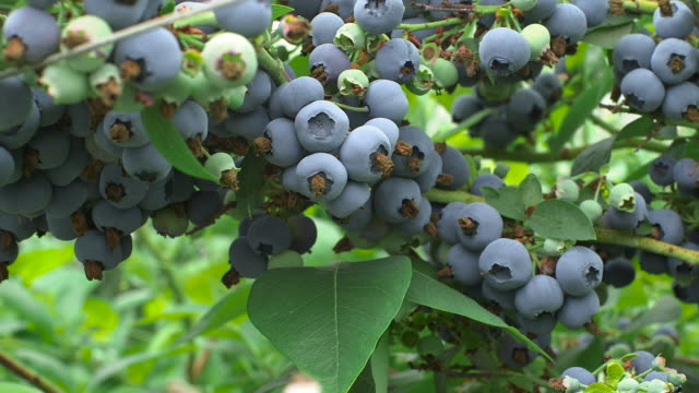 vidéos et rushes de track into ripening blueberries on farm, uk - antioxydant