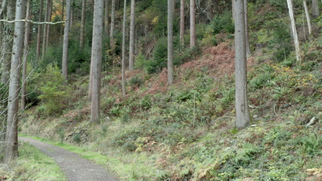 track leading through scottish pine woodland with plants starting to displaying autumn colour - pine woodland stock videos & royalty-free footage