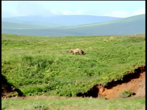 Track left following Kodiak bear as it runs through green fields along river, Unimak Island, Alaska