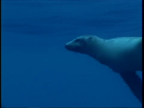 ms track left, fur seal swimming underwater, guadalupe island, pacific ocean - 優美点の映像素材/bロール
