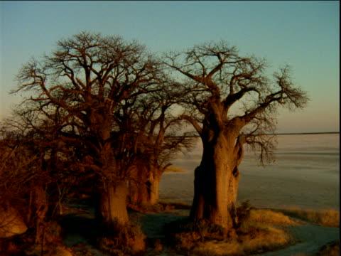 vídeos de stock, filmes e b-roll de track left over group of baobab trees on border of desert salt pan, africa - grande
