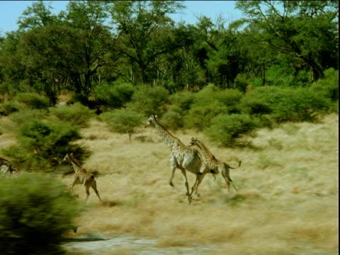 track left over herd of giraffes running across grassy plain - albero tropicale video stock e b–roll
