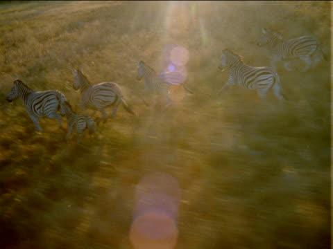 track left over herd of zebra running through grassy plain. - pferdeartige stock-videos und b-roll-filmmaterial